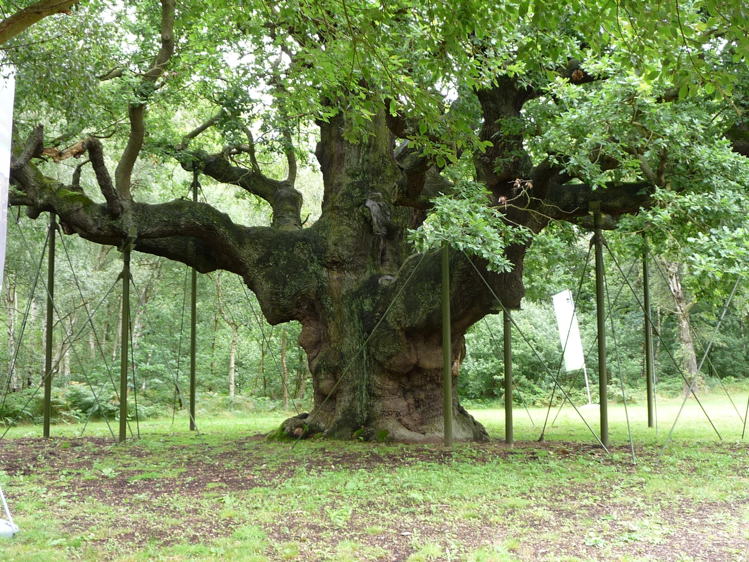 """Résultat de recherche d'images pour """"Le Major Oak"""""""