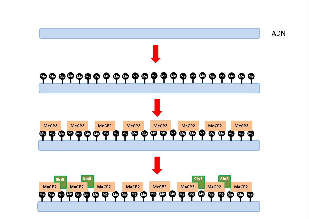 http://upload.wikimedia.org/wikipedia/commons/f/f5/Metilaci%C3%B3n_permanente_del_ADN.JPG