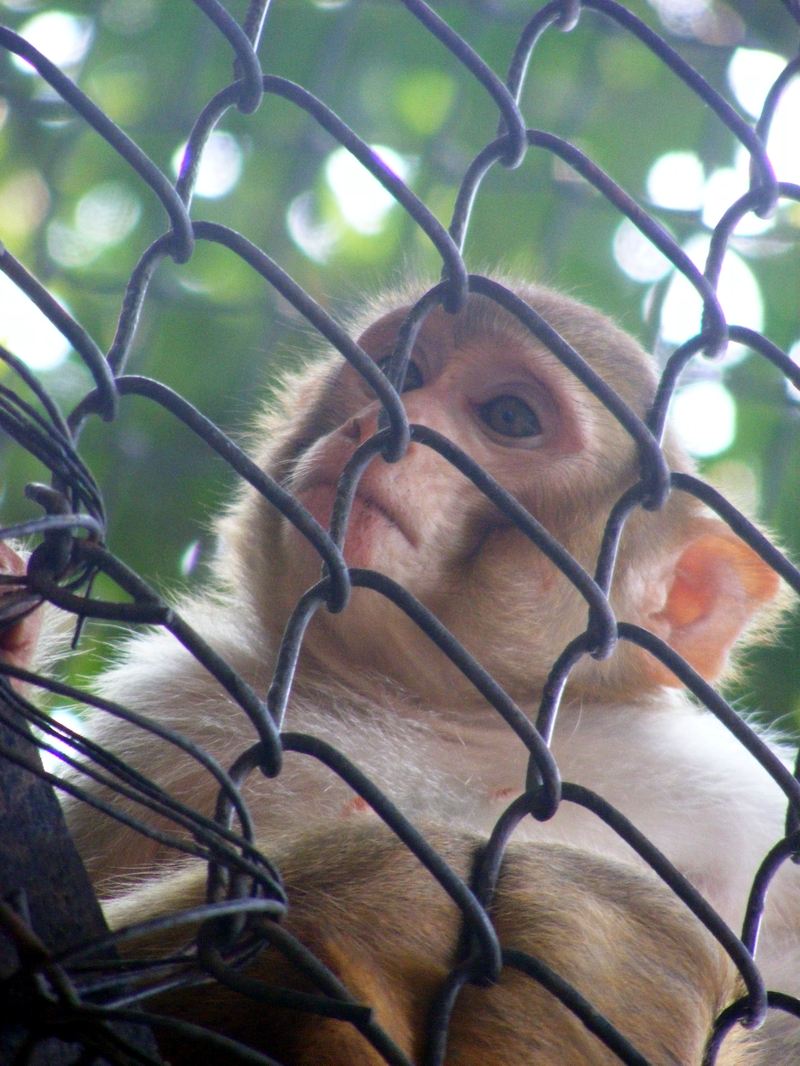 File:Monkey patna zoo JPG - Wikipedia