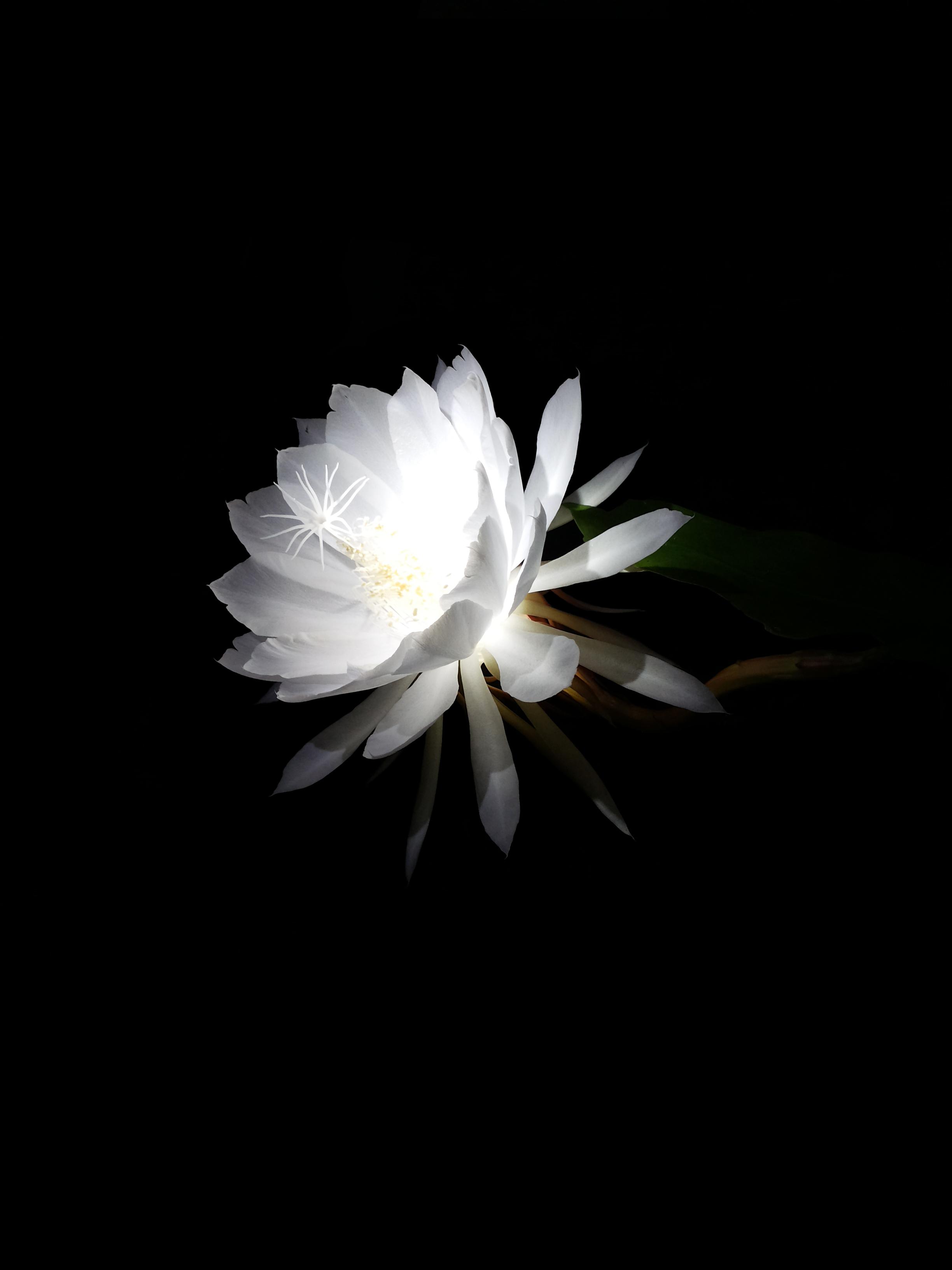 File Night blooming cereus Wikimedia mons