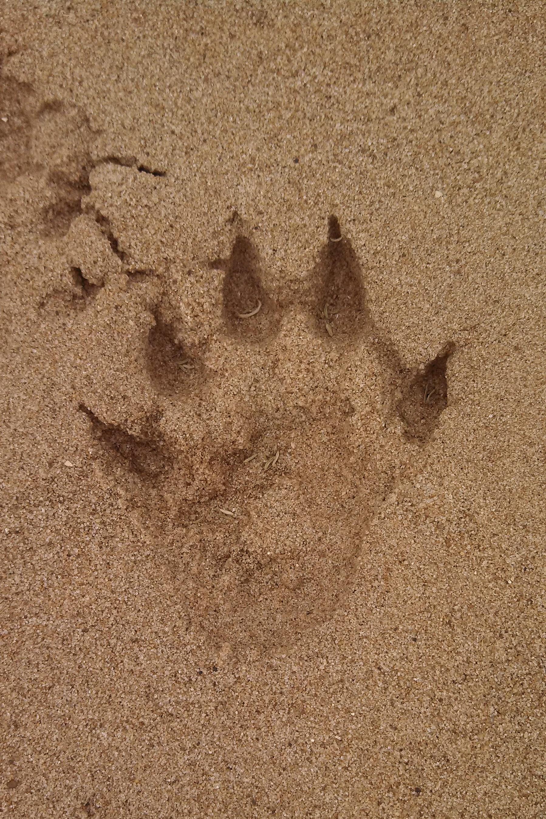 file north american river otter track  kings river  arkansas jpg