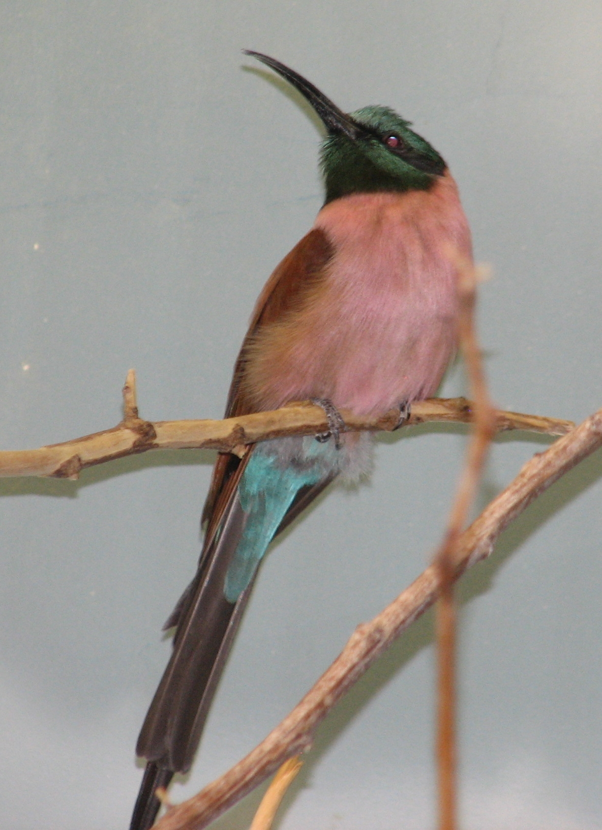 https://upload.wikimedia.org/wikipedia/commons/f/f5/Northern_Carmine_Bee_Eater.jpg