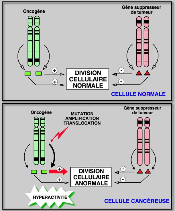 Onkogen wikipedia ccuart Images