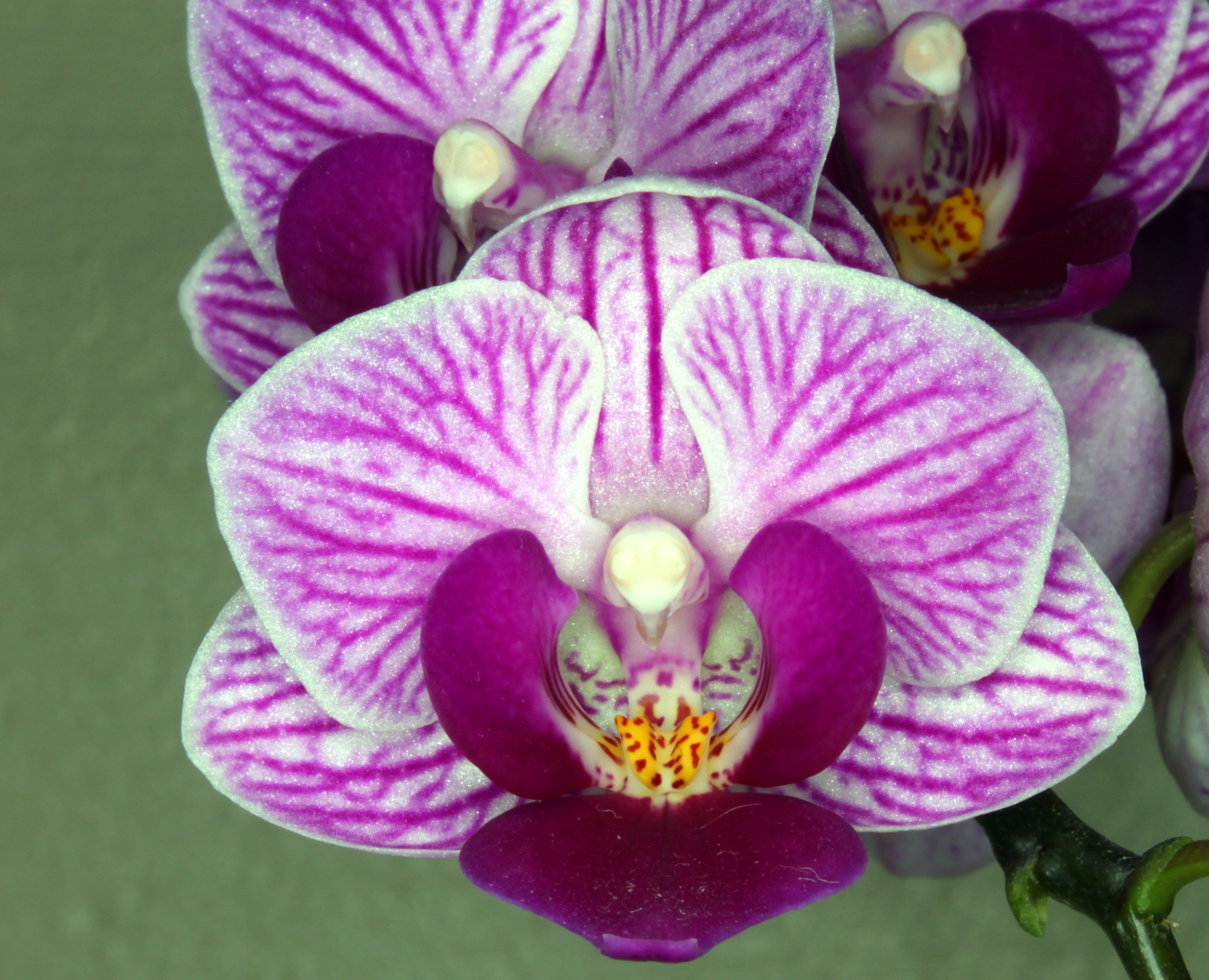 fileorchid flower  wikimedia commons, Beautiful flower
