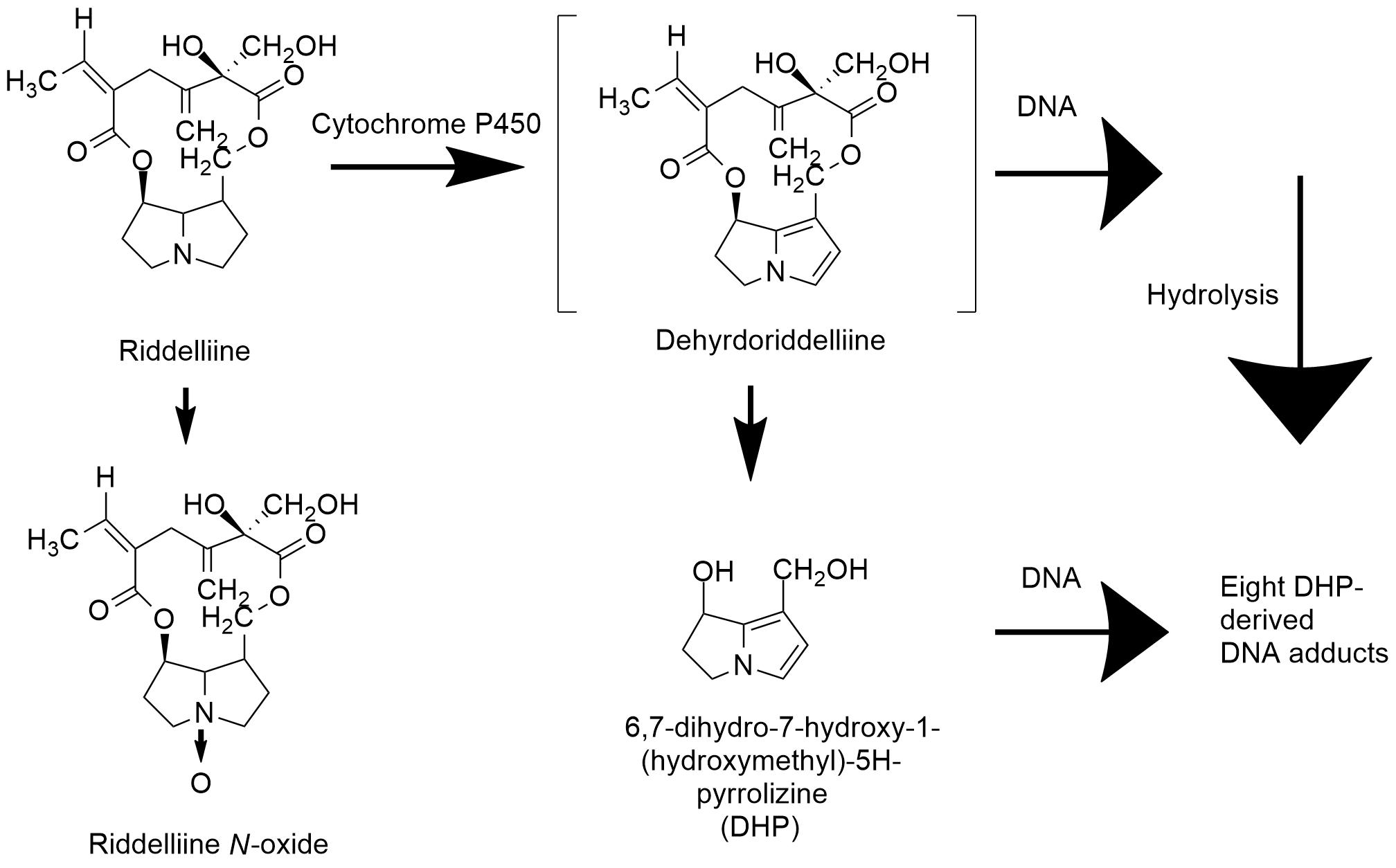 Fileoxidative Metabolism Of Riddelliine In Rat Liverg