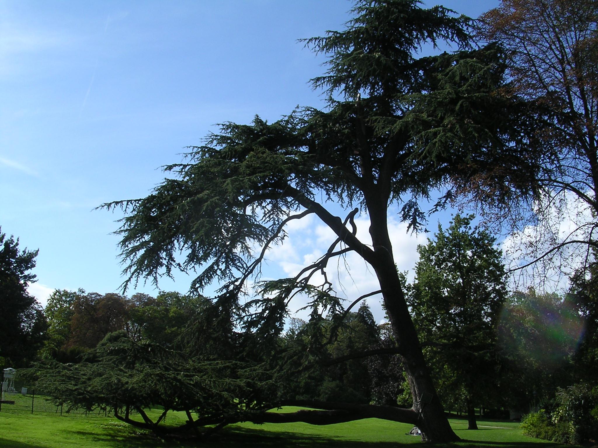 File parc montsouris c dre du liban jpg wikimedia commons - Cedre bleu du liban ...