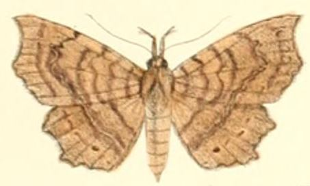 Tập tin:Pl.6-04-Eutrogia morosa (Moore, 1882)