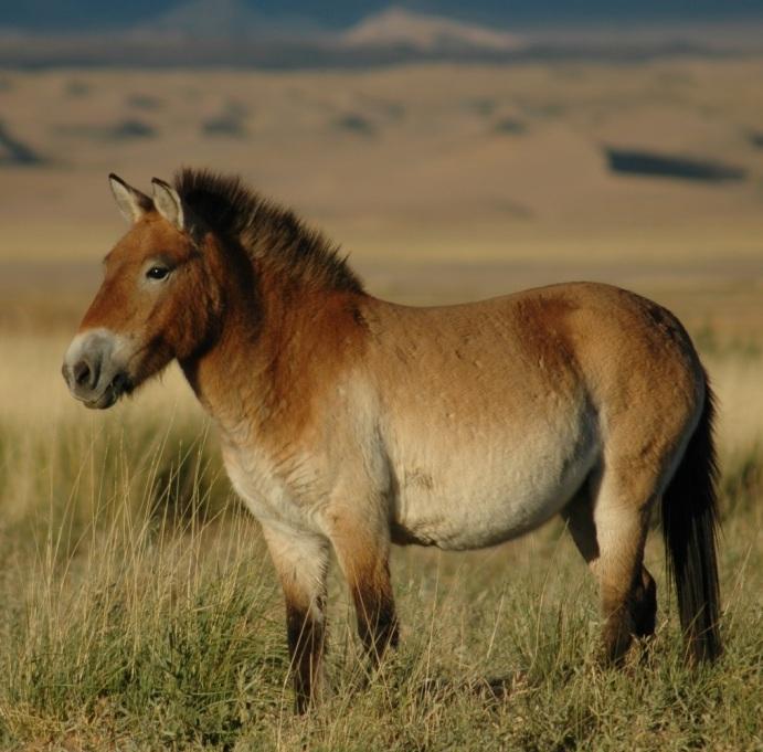 Przewalskis horse  Wikipedia