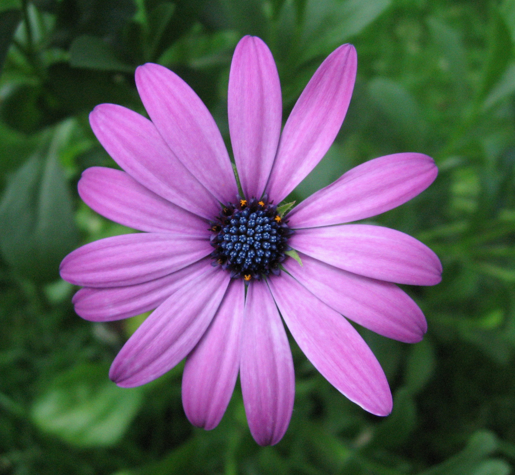 Purple Daisy Flower: File:Purple Osteospermum.jpg