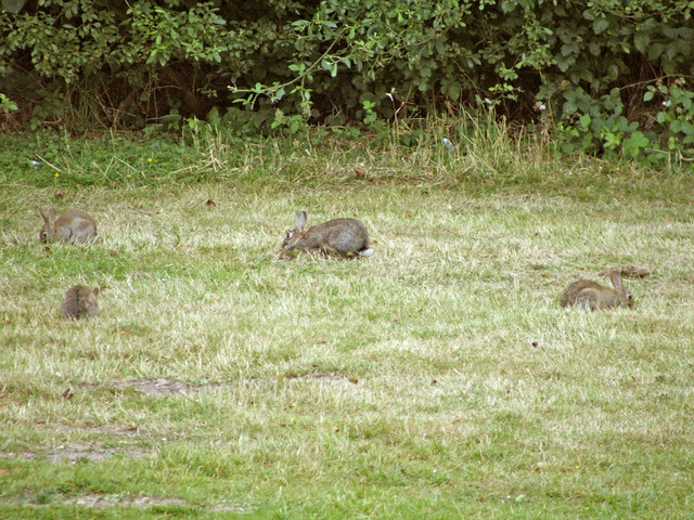 Rabbits in Trent Country Park, London, N14 - geograph.org.uk - 316845