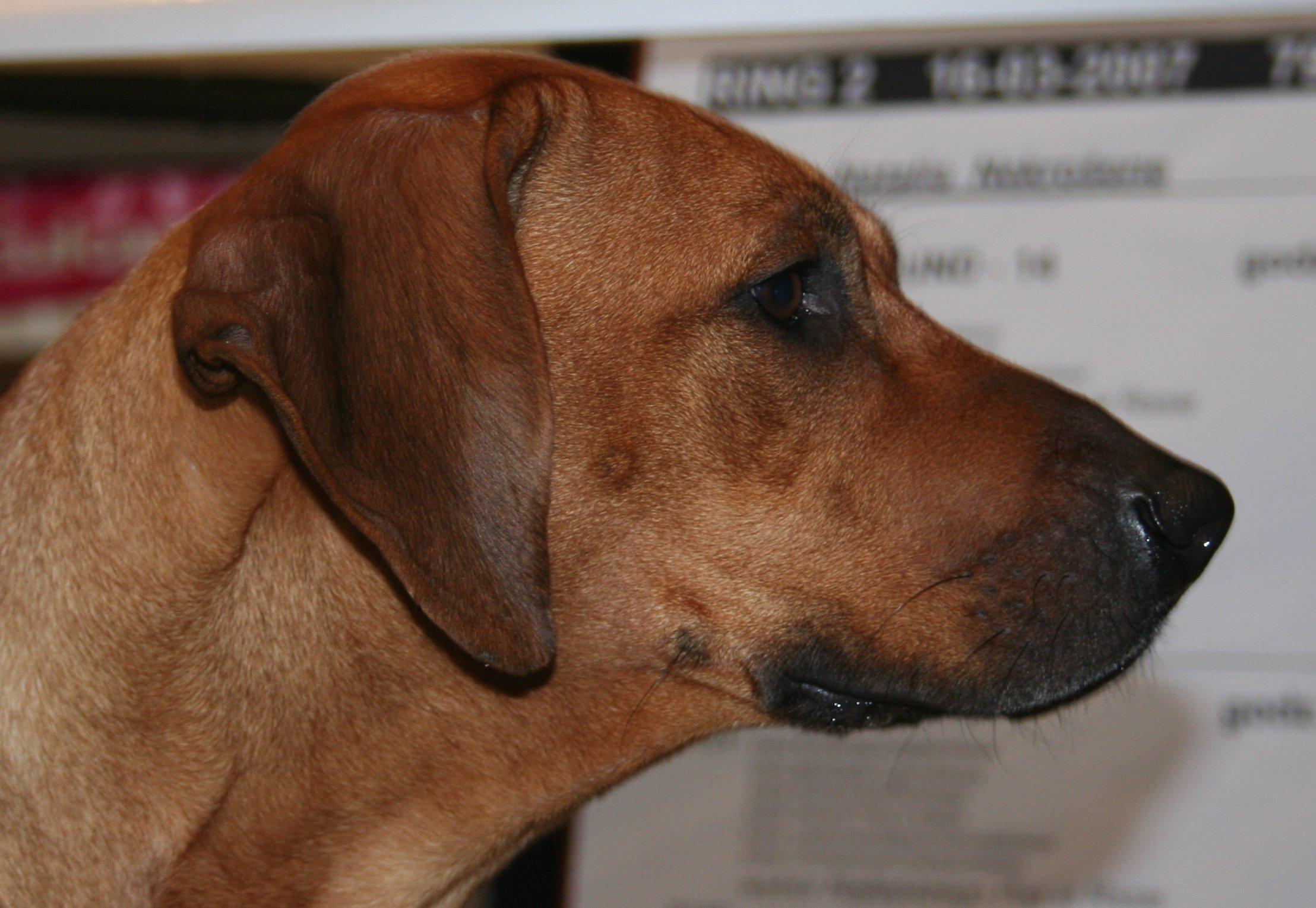 Florida rhodesian ridgeback black lab mix rescue :: ridgeback x ...