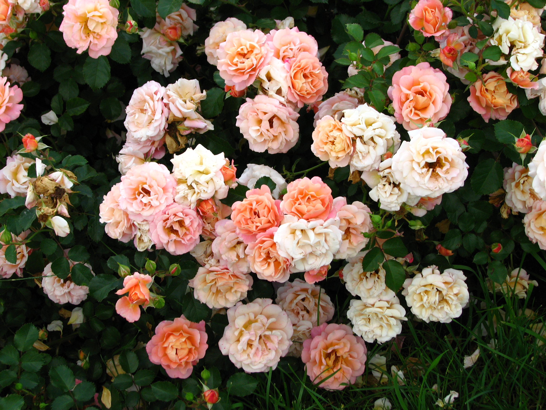 File rosa 39 cubana 39 06 jpg wikimedia commons for Rose tappezzanti