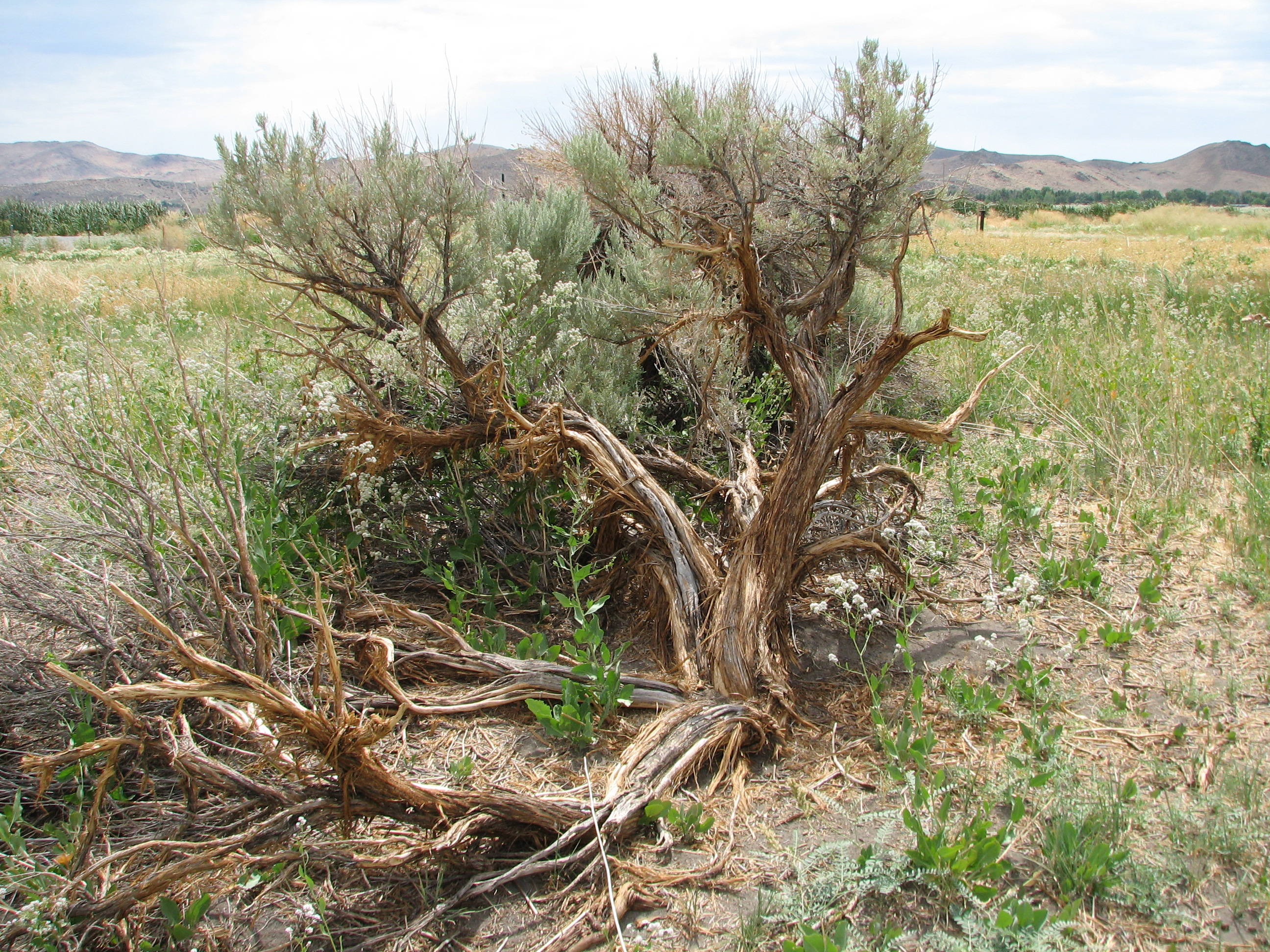 File Sagebrush with shattered trunk Wikimedia mons