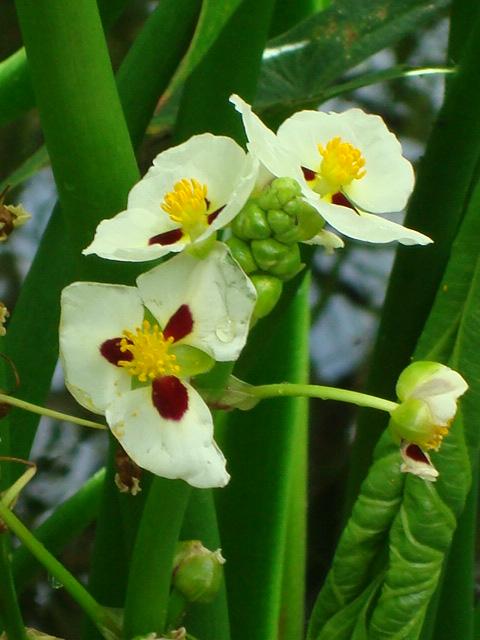 Sagittaria montevidensis - Wikipedia