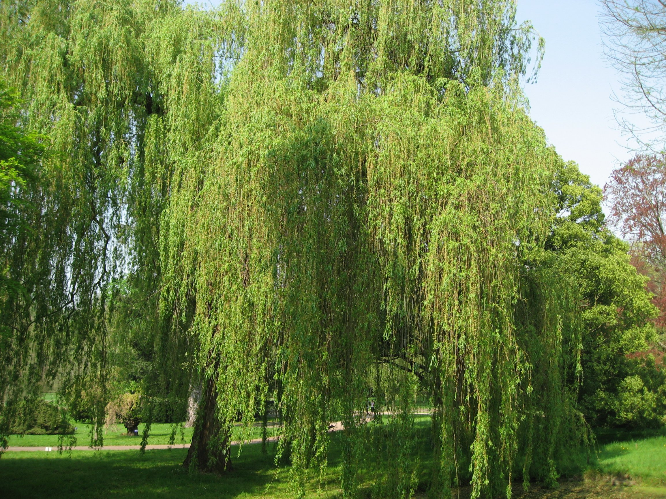 Salix willow for Arboles de jardin de hoja perenne