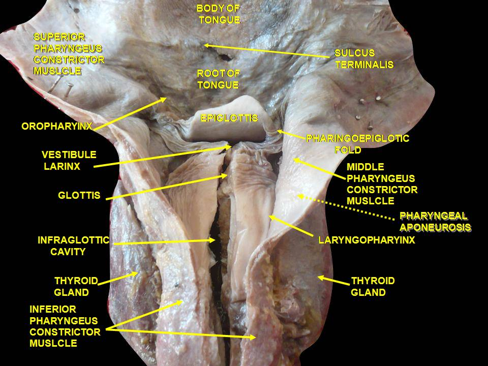 https://upload.wikimedia.org/wikipedia/commons/f/f5/Slide1kuku.JPG Arytenoid