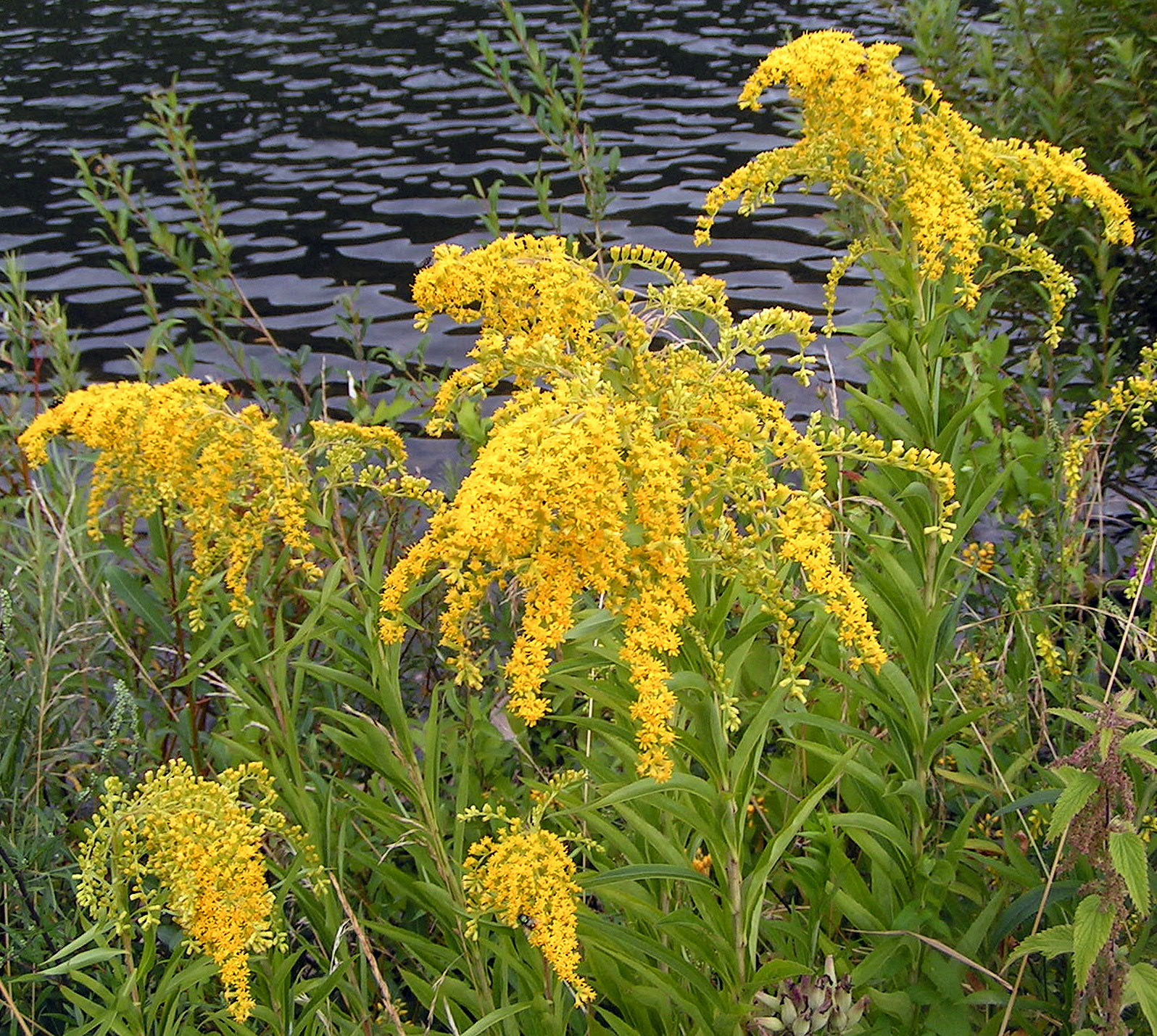 Solidago Golden Rod Goldenrod
