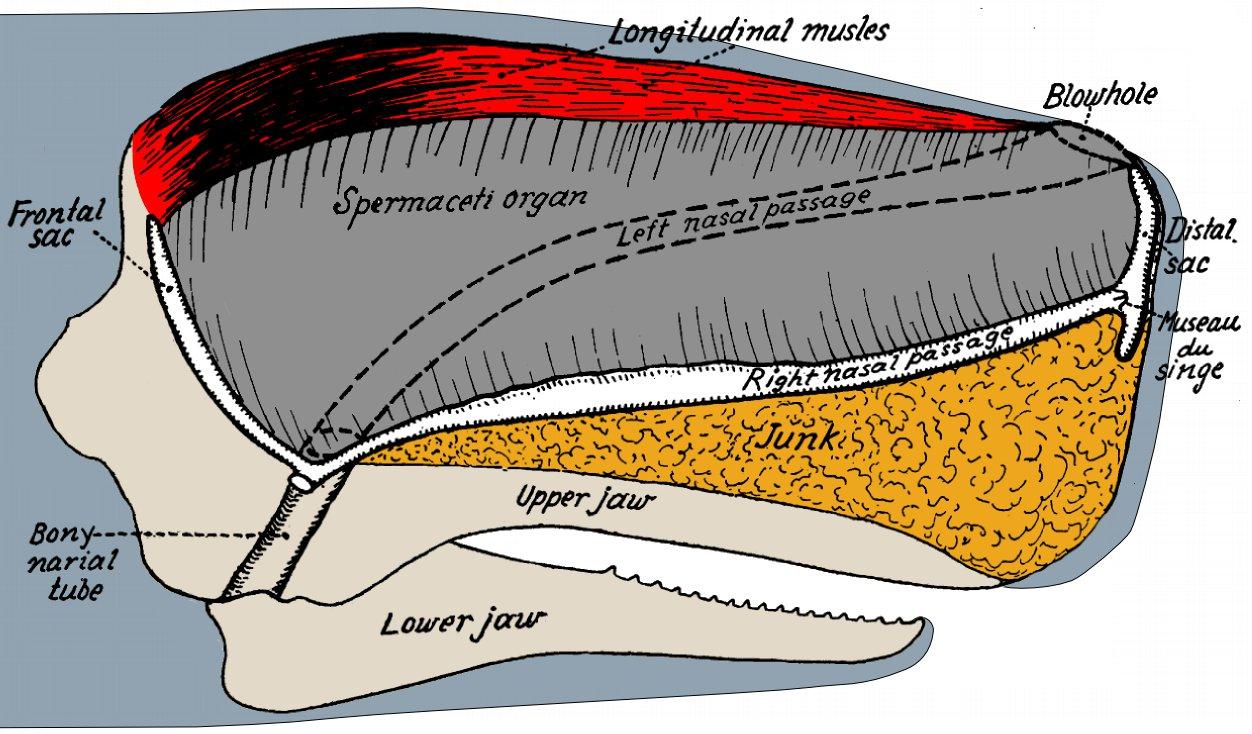 File:Sperm Whale Cranial Anatomy.jpg - Wikimedia Commons