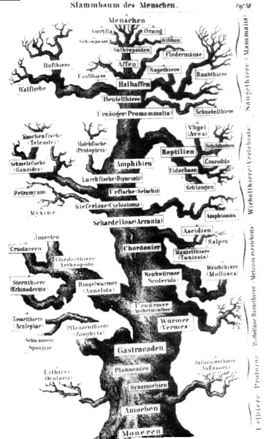 Kleurplaat Fotosynthese File Stammbaum Haeckel Jpg Wikimedia Commons