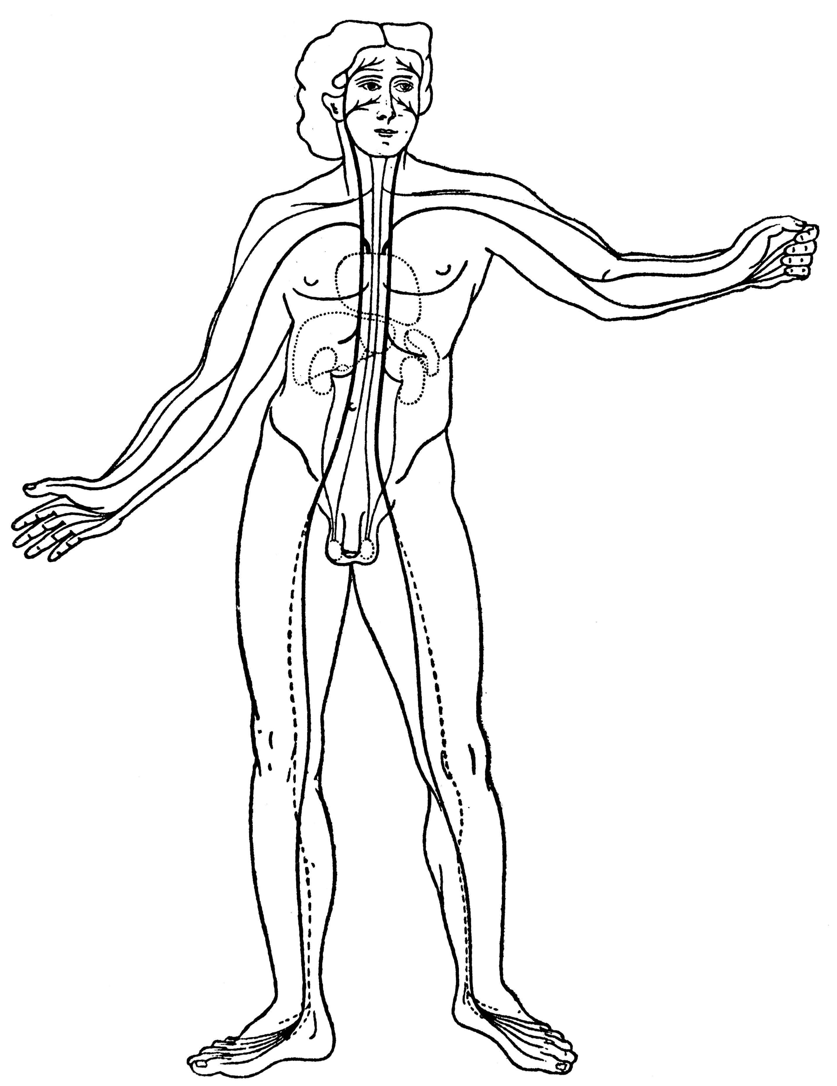 Filethe Vascular System Wellcome M0000374g Wikimedia Commons