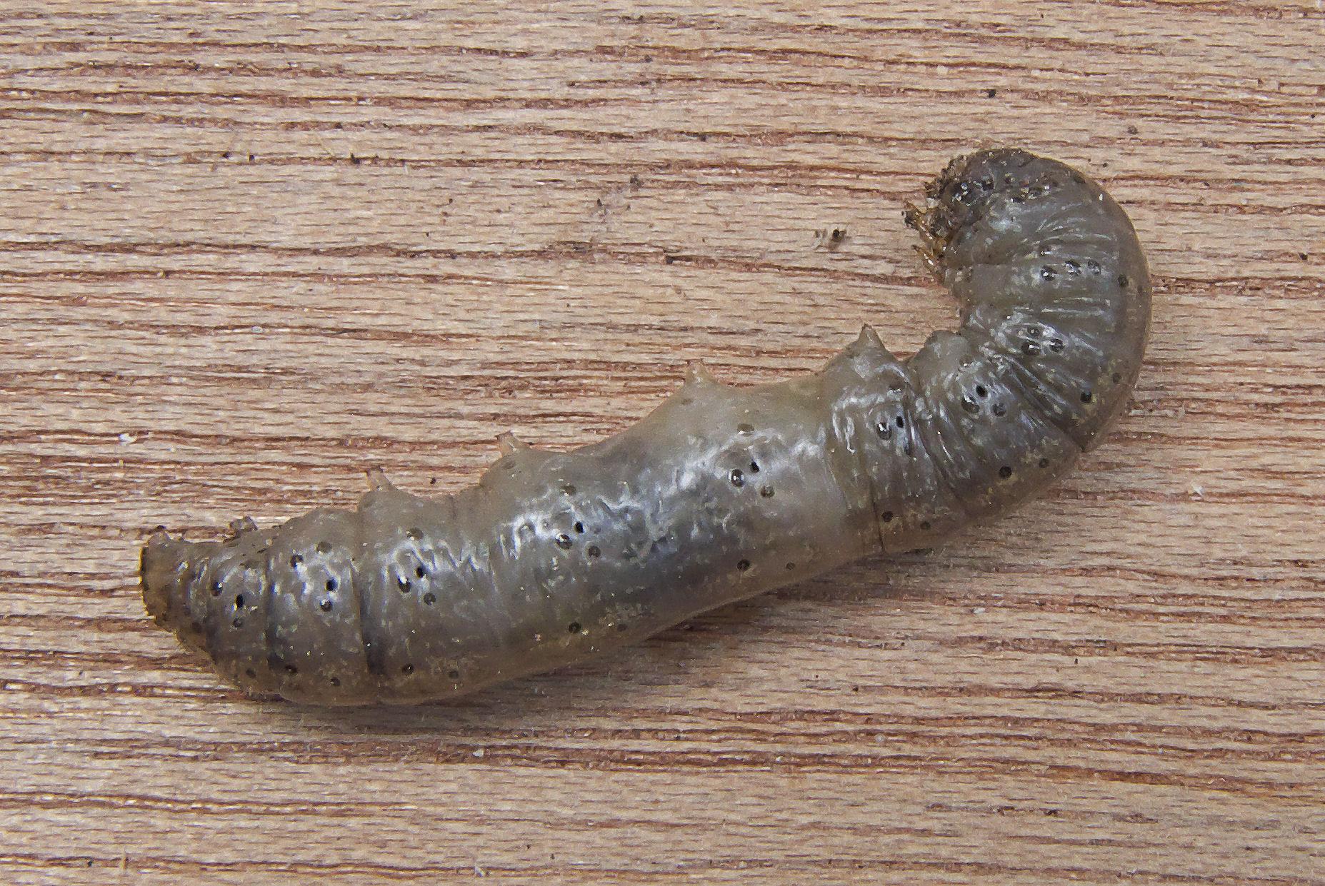 Leather jacket insect - File Tipula Leatherjacket Emelt Jpg