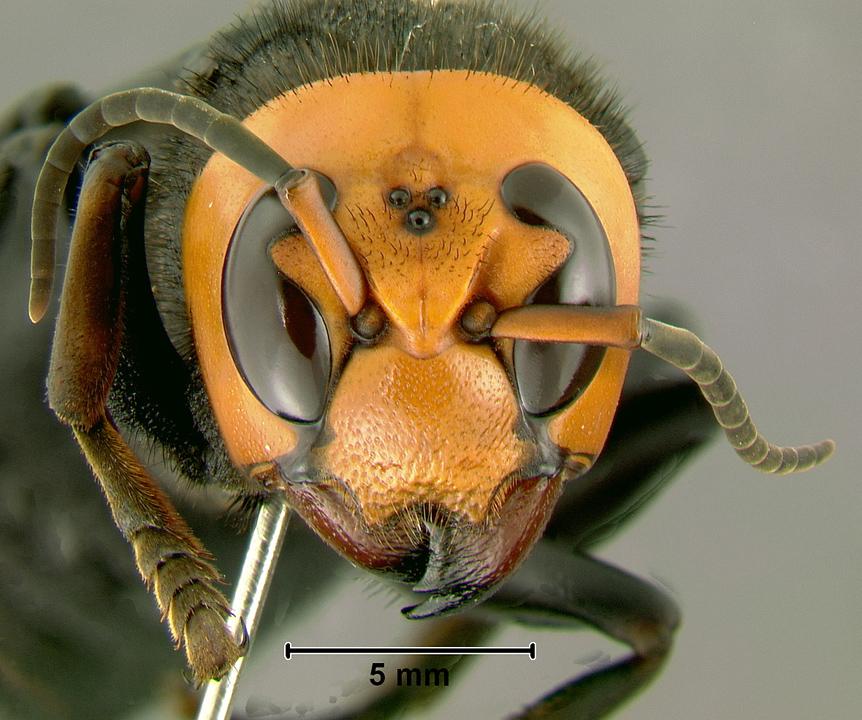 Vespa mandarinia - Wikipedia, la enciclopedia libre