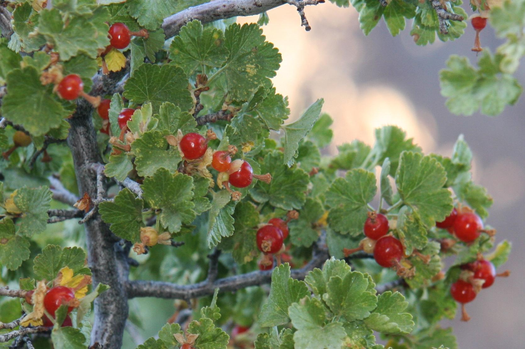 Ribes_cereum. Waxy Currant | Native Plants (Okanagan ...