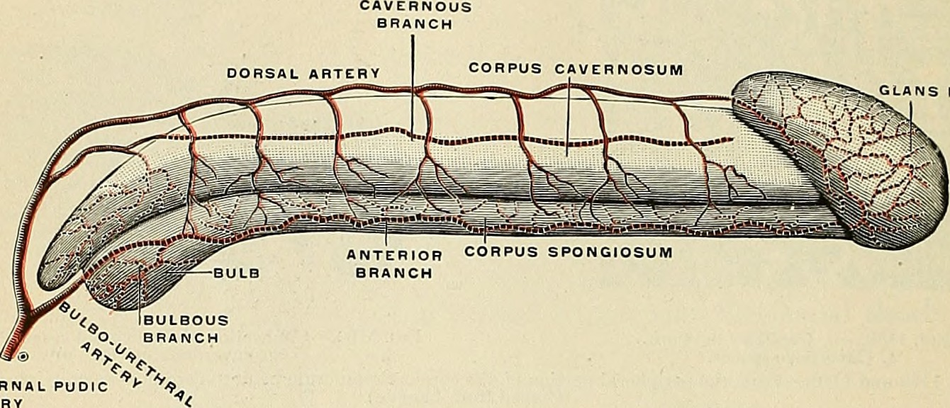 File:Anatomy, descriptive and applied (1913) (18009491348).jpg ...