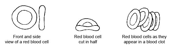Anatomy and physiology of animals Red blood cells or erythrocytes.jpg