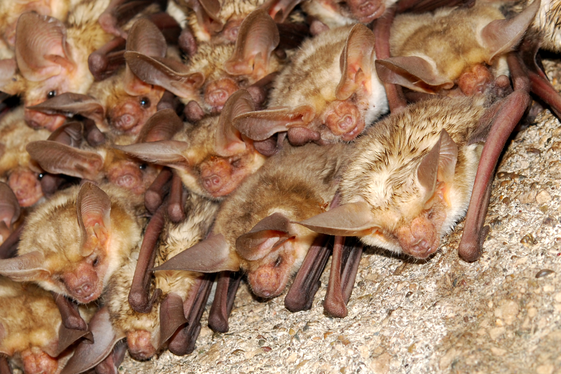 pallid bat photo
