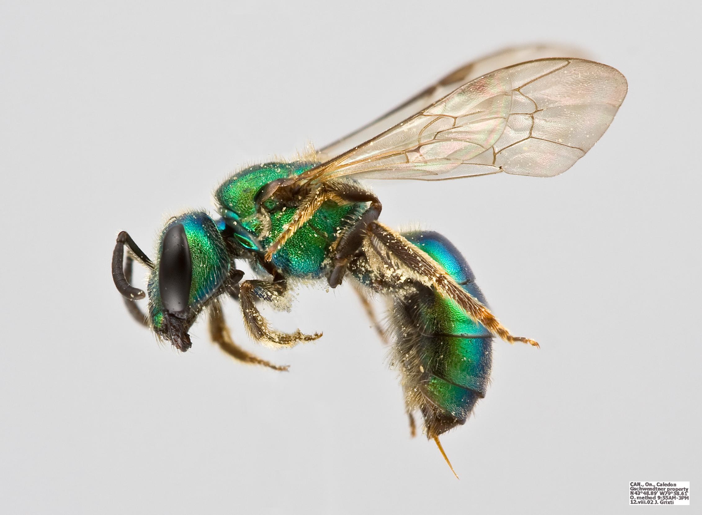 Pure Gold-Green Sweat Bee
