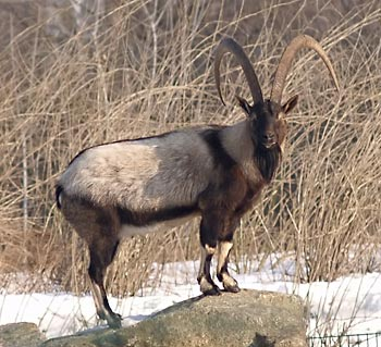 A largish goat with freakin enormous black horns curving straight back. The animal has a grayish-brown body with black stripes over the shoulders and black markings on face, legs, and belly.