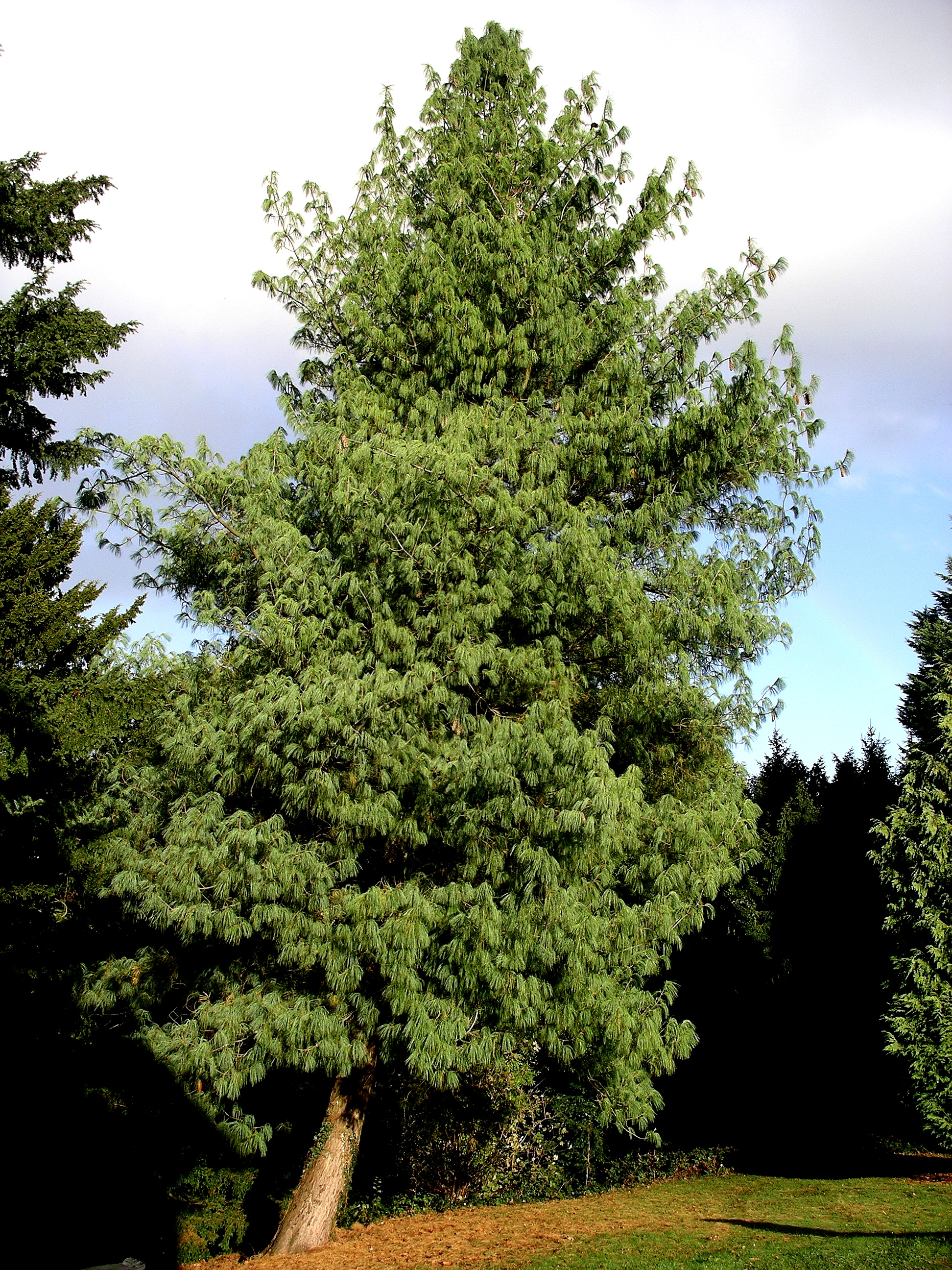 http://upload.wikimedia.org/wikipedia/commons/f/f6/Bhutan_pine_tree.JPG
