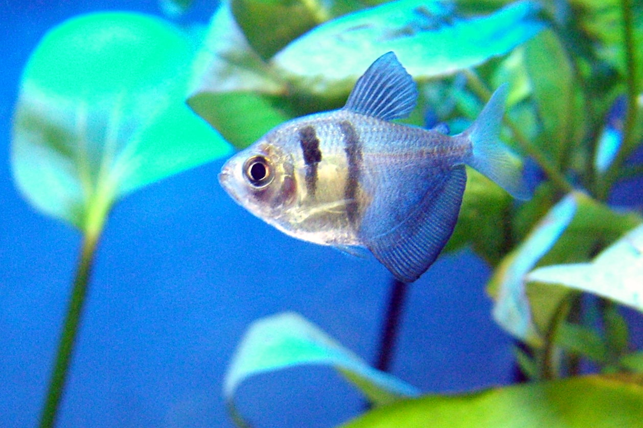 List of freshwater aquarium fish species +Search for Videos