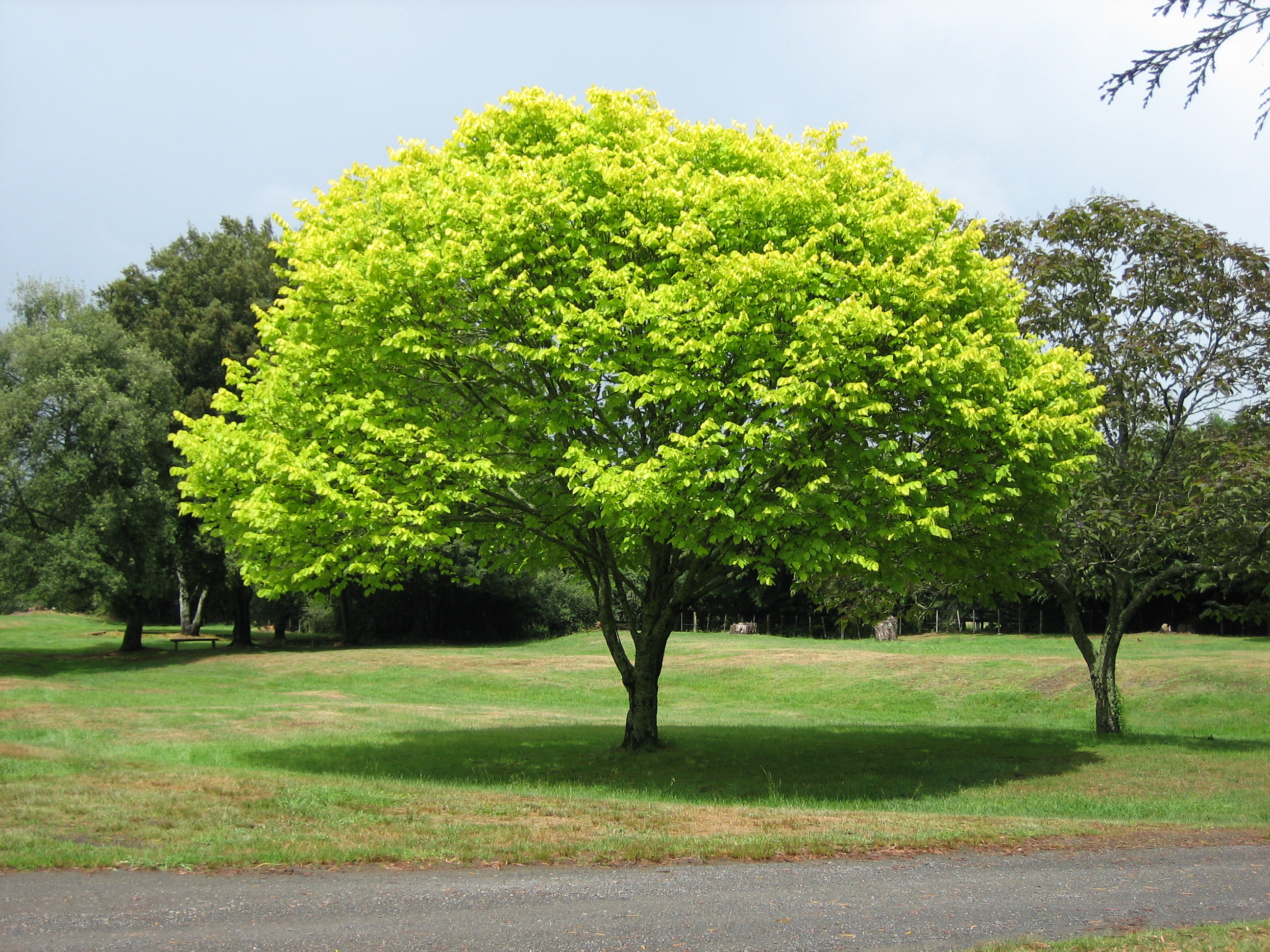 Description Bright green tree  Waikato.jpg