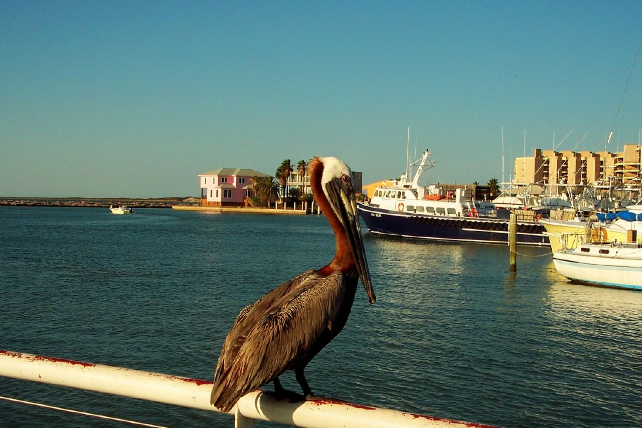 File brown pelican on boat railing port aransas texas for Port a texas