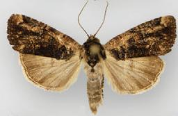 Bryolymnia mixta male.JPG
