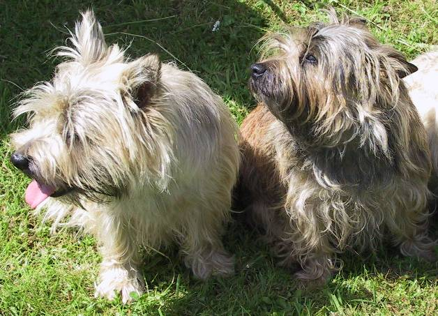 File:Cairn-terriers.jpg - Wikimedia Commons