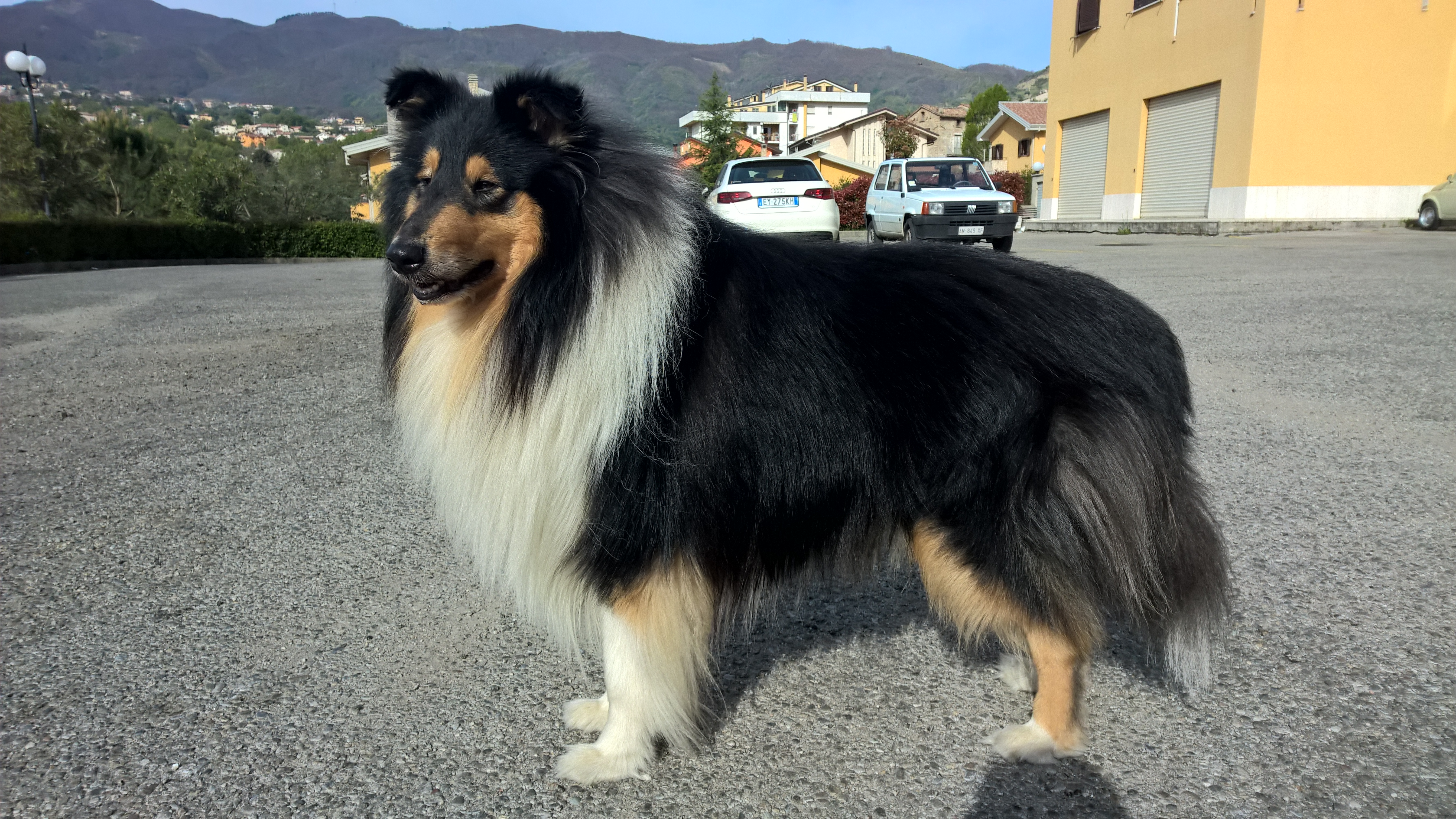 cane da pastore scozzese a pelo lungo - wikiwand
