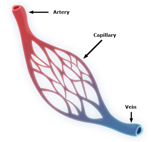 Veins Arteries Capillaries Capillaries Form Veins