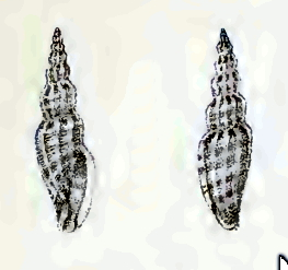 <i>Citharomangelia townsendi</i> Species of gastropod