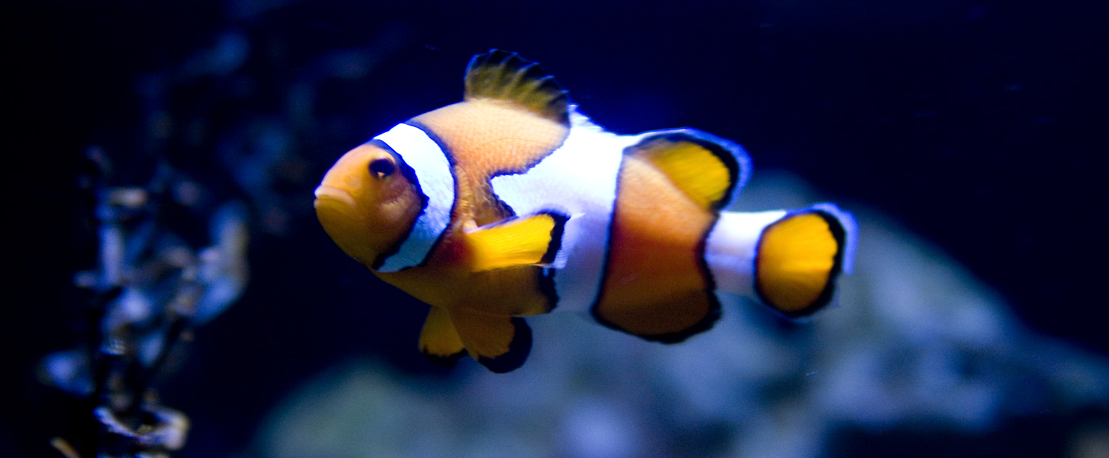 File clownfish in blue wikimedia commons for Blue clown fish