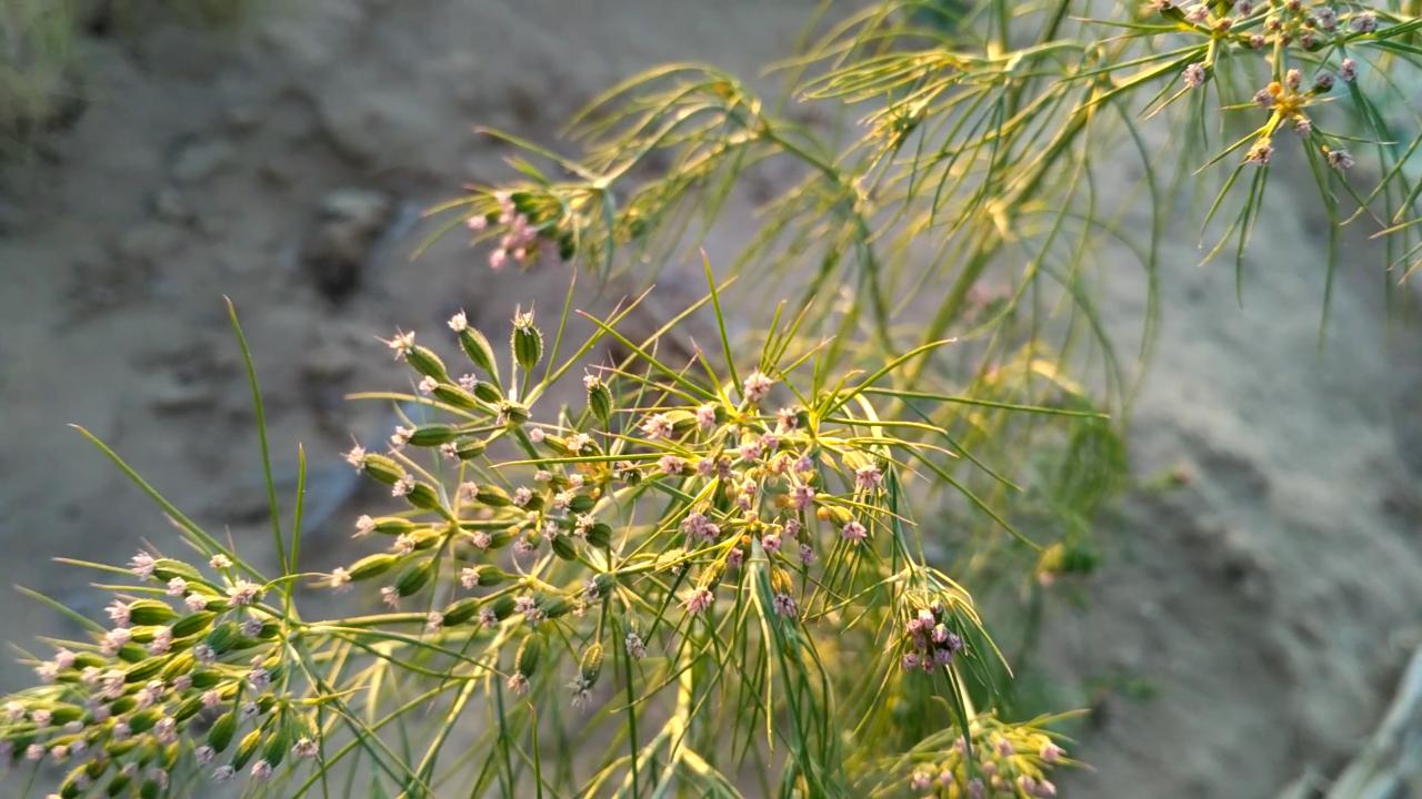 Cumin plant, Rajasthan (1).png