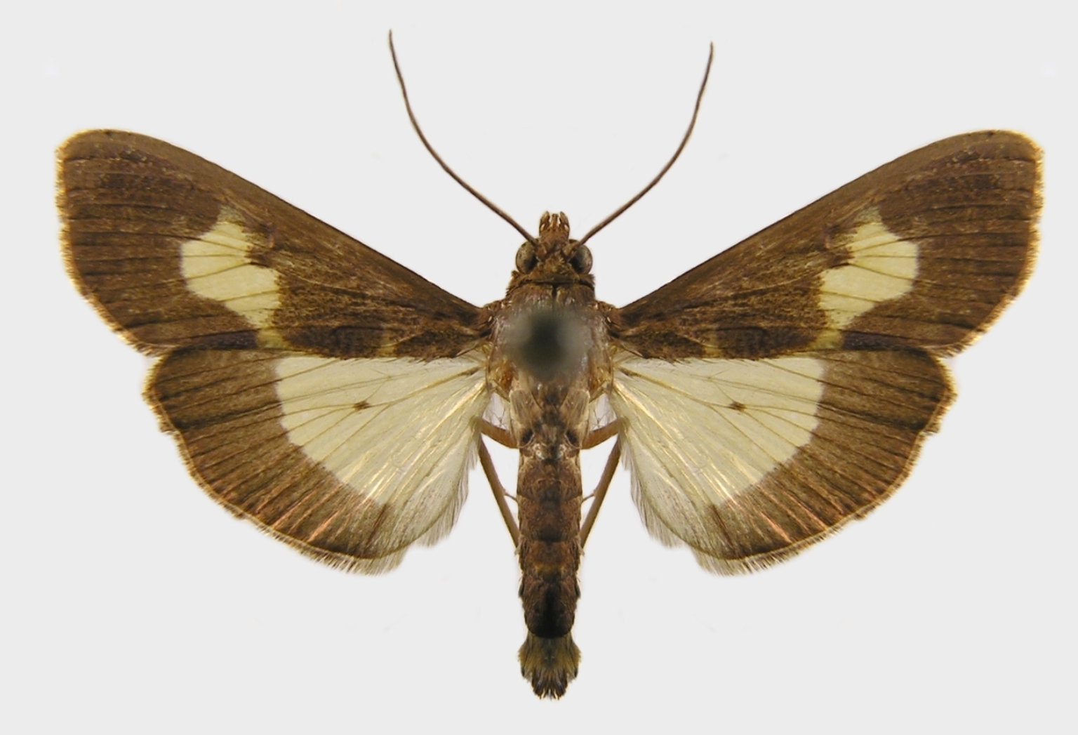 File:Diaphania nitidalis adult.jpg. Size of this preview: ...