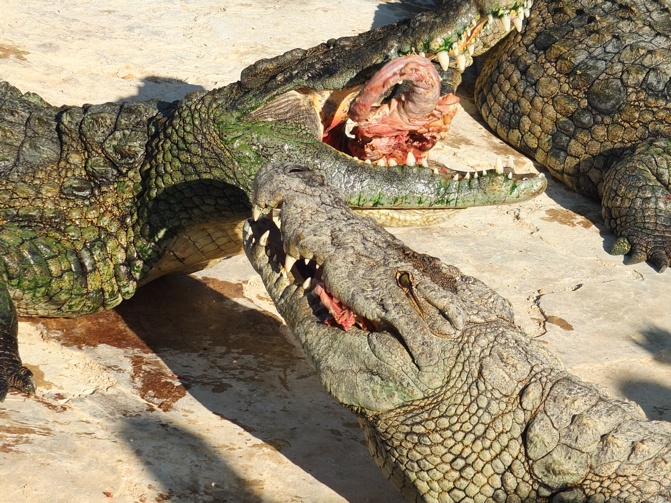 Image Gallery nile crocodile eating