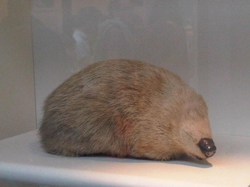 The average adult weight of a Giant golden mole is 440 grams (0.97 lbs)