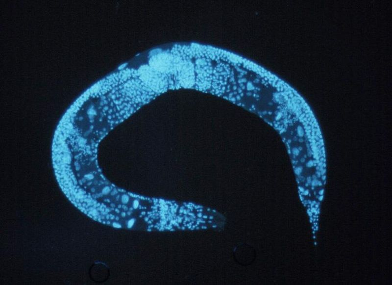 Enlarged c elegans