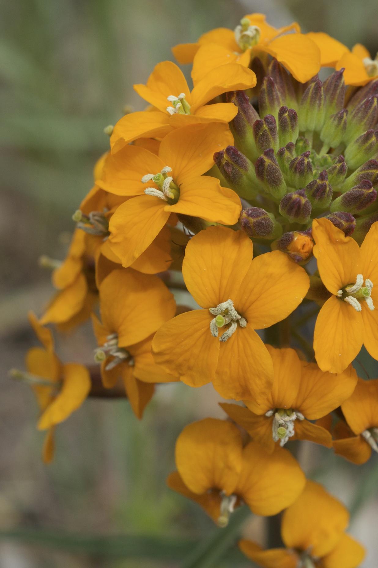 sanddune wallflower