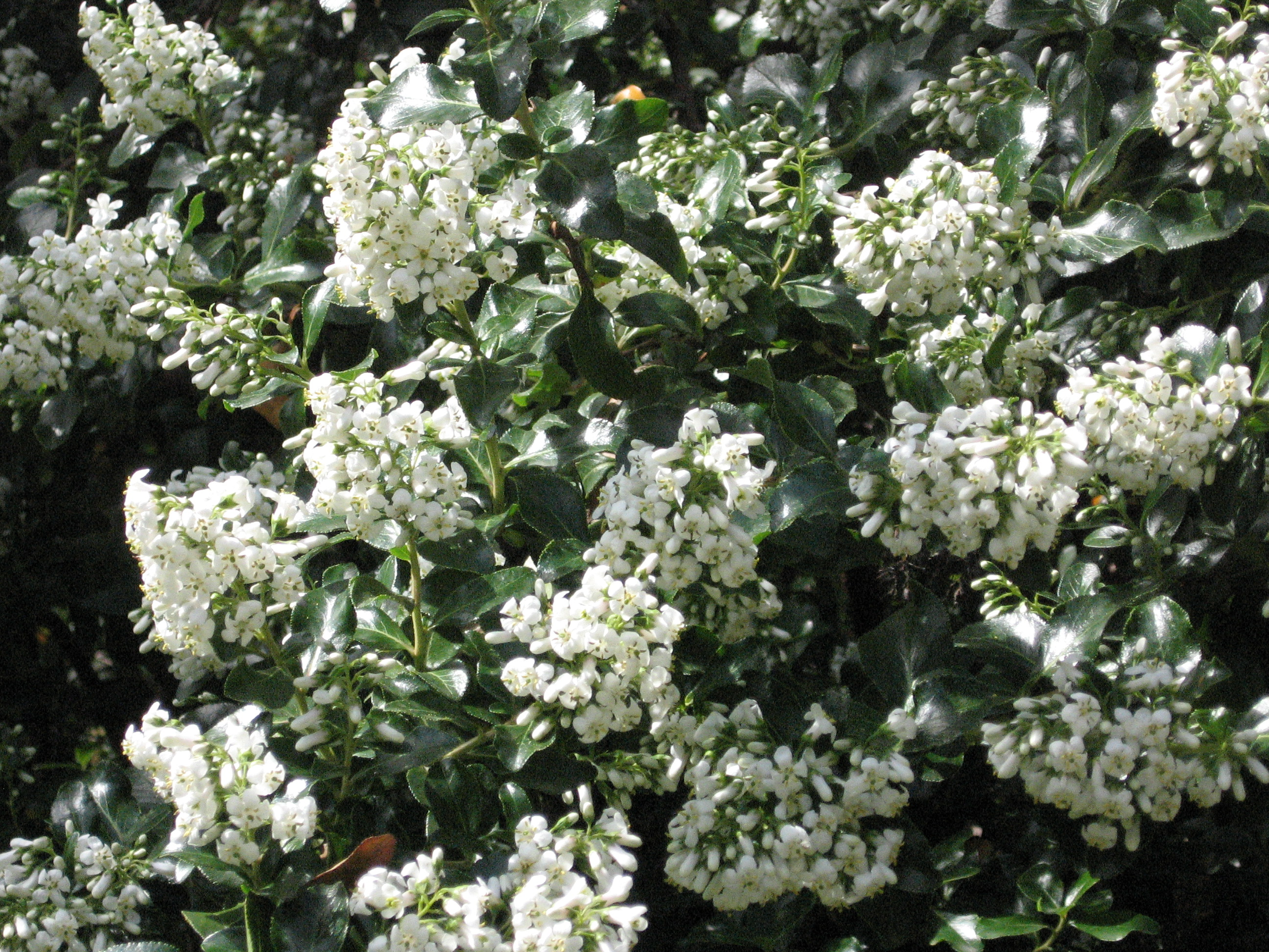 Image result for Escallonia 'Iveyi' AGM