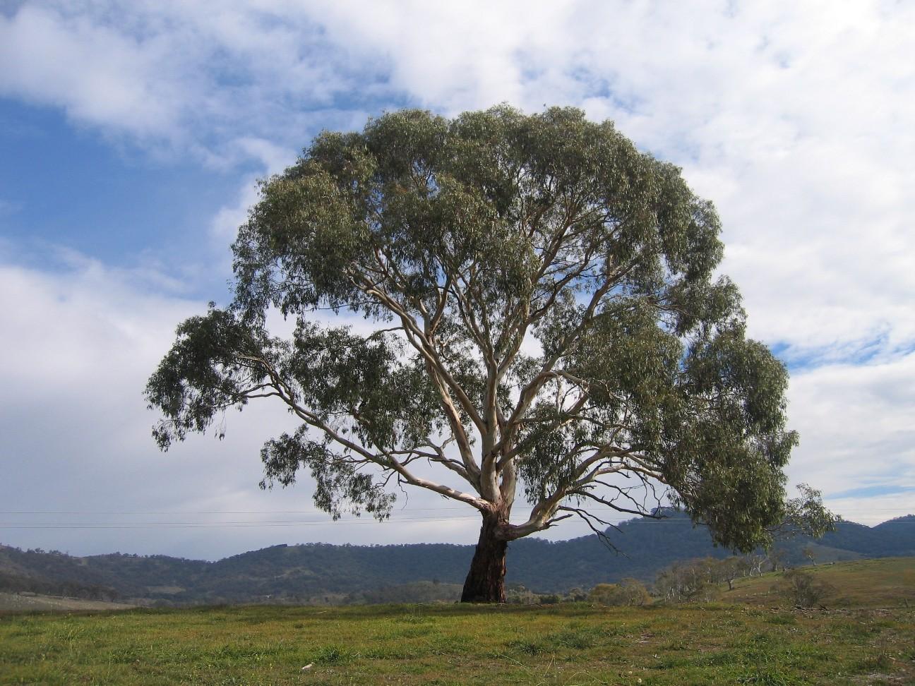 LE SALON DE MUSIQUE  - Page 21 Eucalyptus_rubida